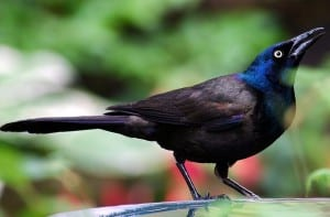 The Grackle and the Quail